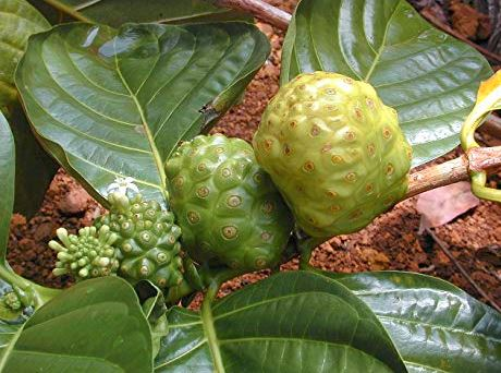 indian mulberry diet preventing cancer